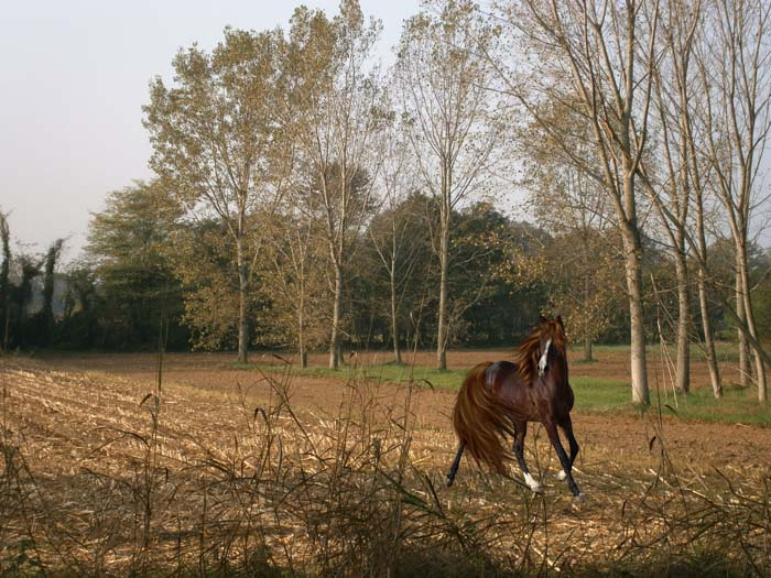 Il cavallo selvaggio nel campo