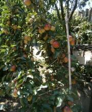 mele quasi mature
