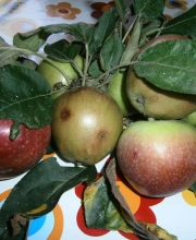 mele raccolte