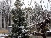 Nevica sull'agrifoglio