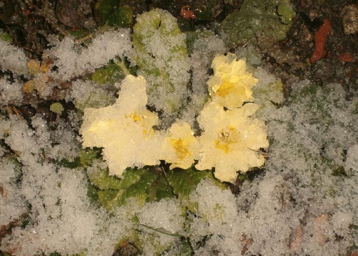 Le primule sotto la neve meryweb for Primule immagini